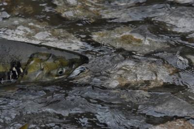 川を上る鮭はアスタキサンチンの力で産卵するまでの頑張れる