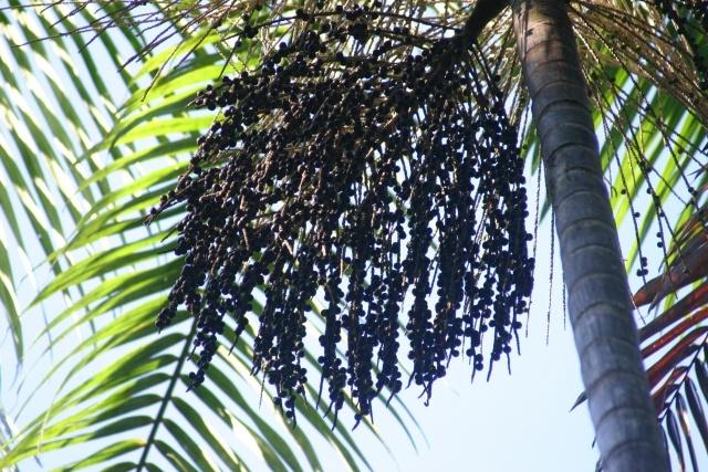 ヤシ科の植物アサイー